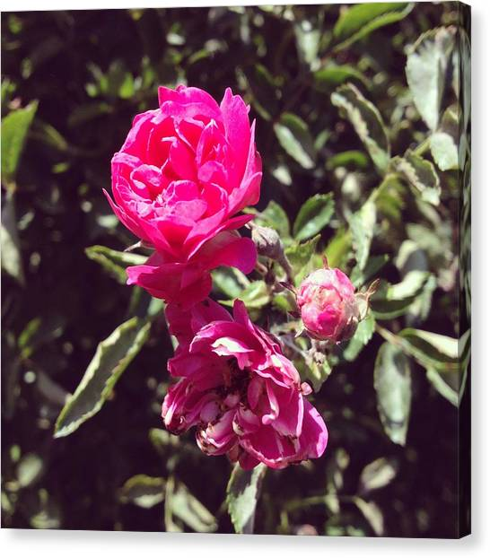 Gardens Canvas Print - Rose by Christy Beckwith