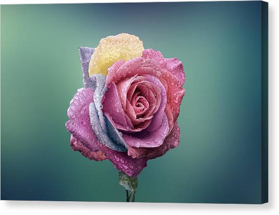 Roses Canvas Print - Rose Colorful by Bess Hamiti