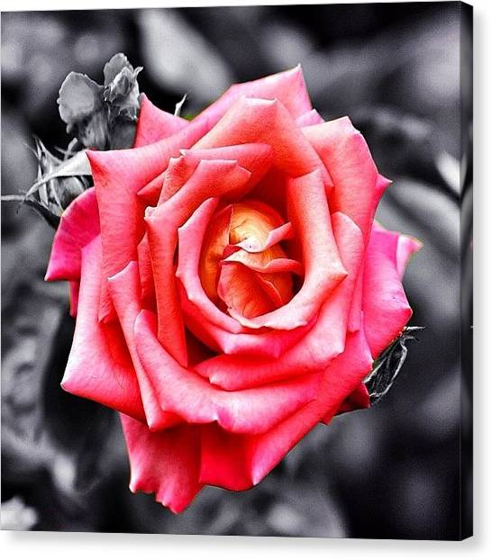 Roses Canvas Print - #rose #colorsplash #fiore #rosa by Luisa Azzolini