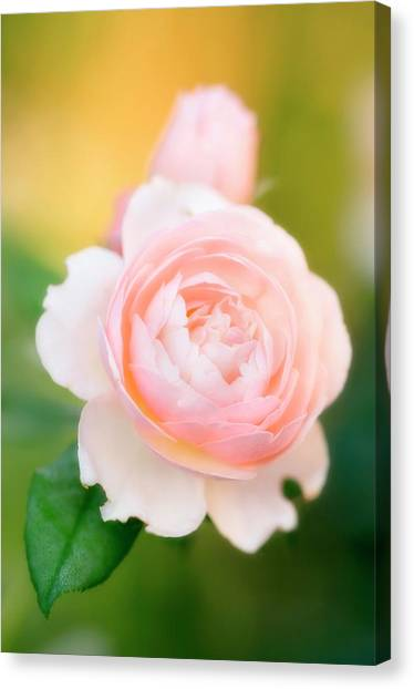 Rose Flowers (rosa Hybrid) Canvas Print by Maria Mosolova/science Photo Library