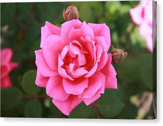 Red Roses Canvas Print - Rose by John Steadman