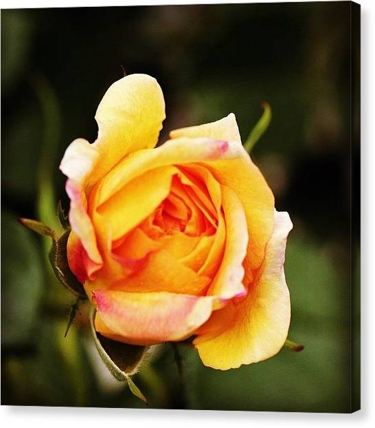 Roses Canvas Print - Rose by Luisa Azzolini