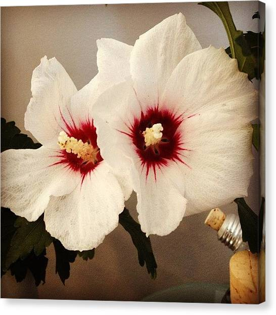 White Canvas Print - Rose Of Sharon by Christy Beckwith