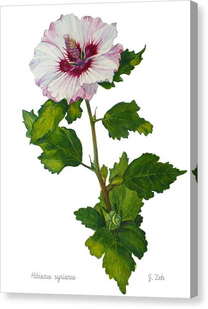 Rose Of Sharon - Hibiscus Syriacus Canvas Print