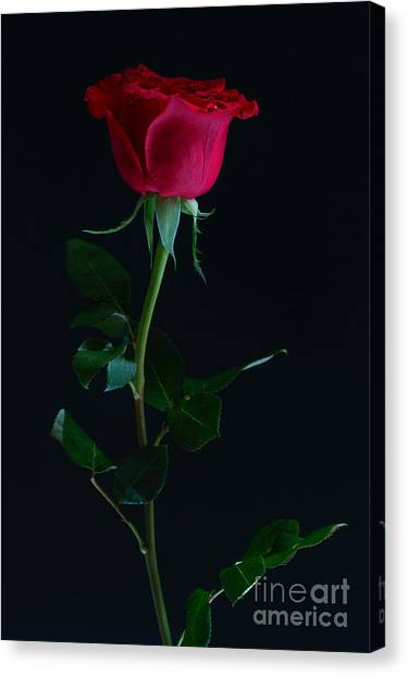 Rose On Black Canvas Print by Svitlana Imnadze