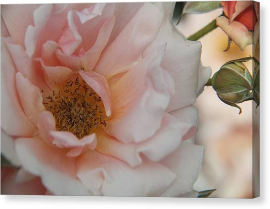 Rose - One Of A Kind Canvas Print by Dervent Wiltshire