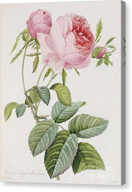 Garden Flowers Canvas Print - Rose by Pierre Joesph Redoute