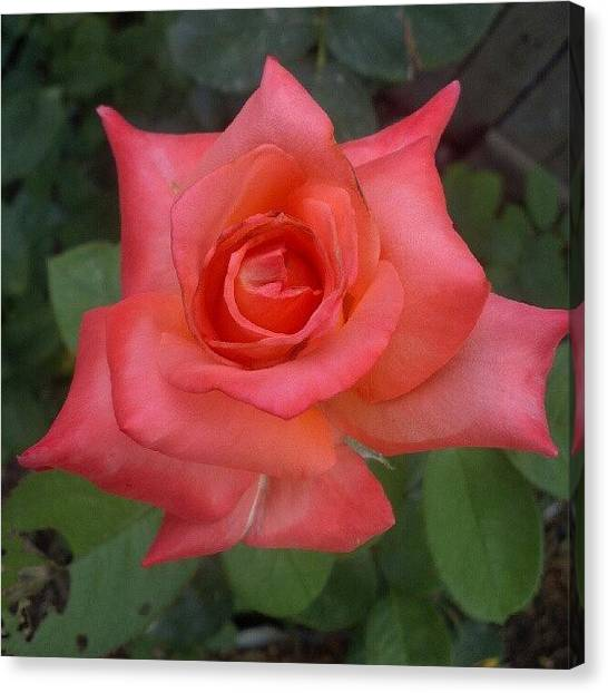 Droid Canvas Print - #rose #pink #flower #instahub by Alberto Chavez