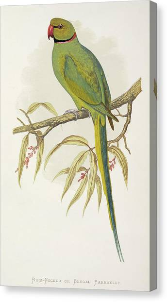 Parakeets Canvas Print - Rose-ringed Parakeet by Natural History Museum, London/science Photo Library