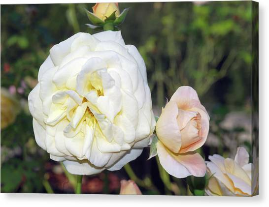 Hyde Park Canvas Print - Rose (rosa 'hyde Park') by Brian Gadsby/science Photo Library