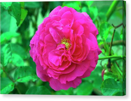 Rose (rosa 'karlsruhe') Canvas Print by Neil Joy/science Photo Library