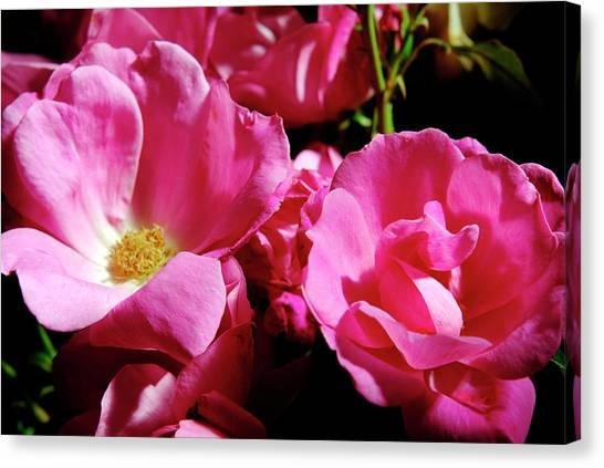 Knockout Canvas Print - Rose (rosa 'pink Knockout') by Ian Gowland/science Photo Library