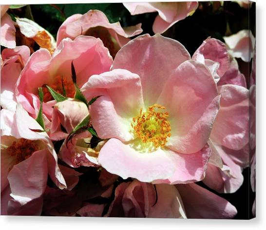 Knockout Canvas Print - Rose (rosa 'soft Knockout') by Ian Gowland/science Photo Library