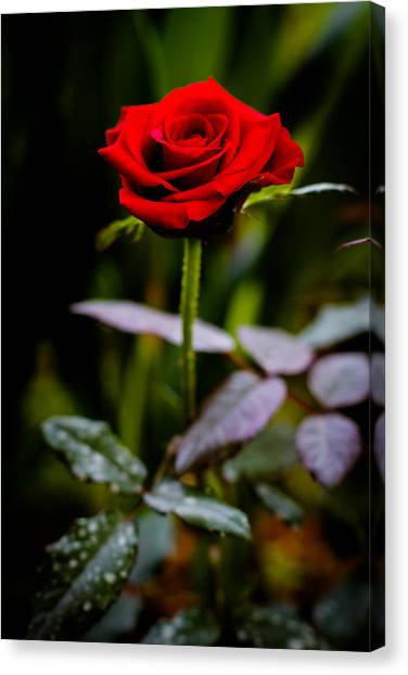 Rose Singapore Flower Canvas Print by Donald Chen