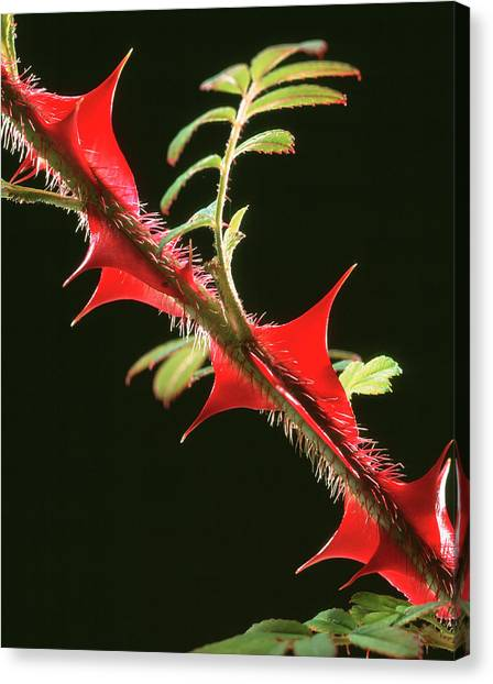 Rose Thorns Canvas Print by Sheila Terry/science Photo Library