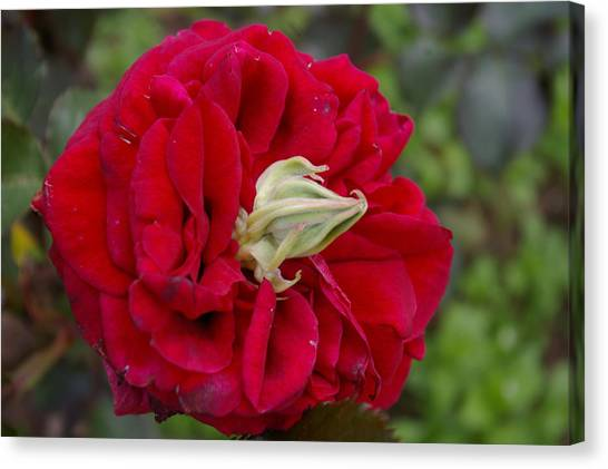 Rose With A Nose Canvas Print by Christine Burdine