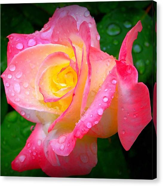 Rose With Water Droplets  Canvas Print