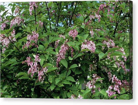 Lilac Bush Canvas Print - Rosea Lilac Flowers by Adrian Thomas/science Photo Library