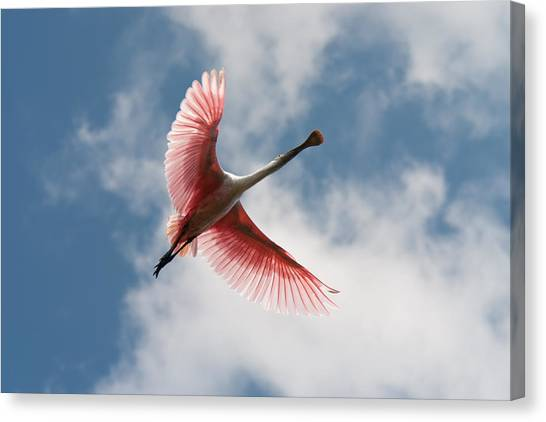 Roseate Soaring Canvas Print