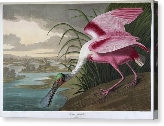 Spoonbills Canvas Print - Roseate Spoonbill by British Library