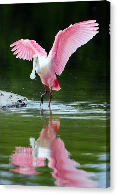 Florida Wildlife Canvas Print - Roseate Spoonbill by Clint Buhler