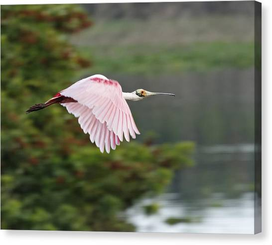 Roseate Spoonbill In Flight Canvas Print