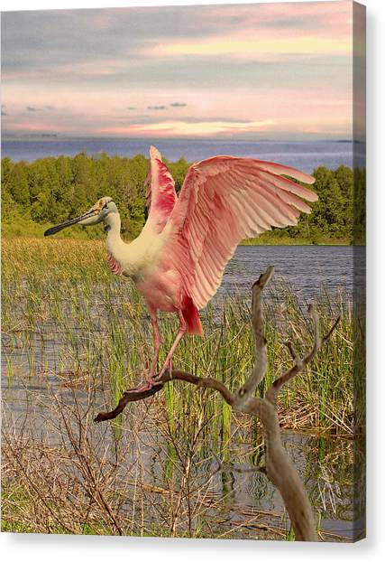 Spoonbills Canvas Print - Roseate Spoonbill At Lake St. George by IM Spadecaller