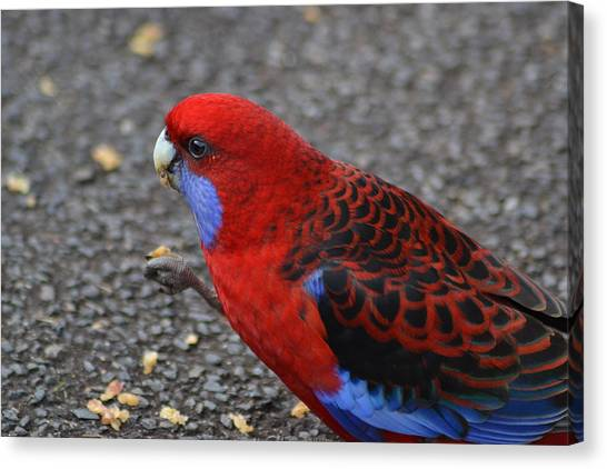 Parrots Canvas Print - Rosella Eating Nut by Jeb Grimes