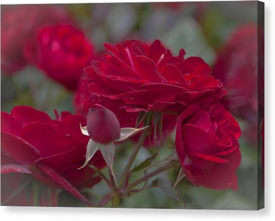 Roses And Roses Canvas Print