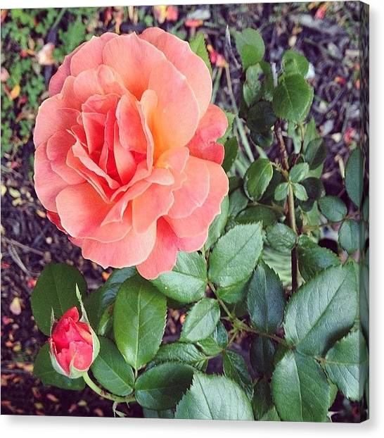 Gardens Canvas Print - Roses Are Salmon...wait, What!? by Amber Flowers