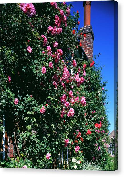 Andy Bloom Canvas Print - Roses Climbing A Cottage Wall by Andy Williams/science Photo Library