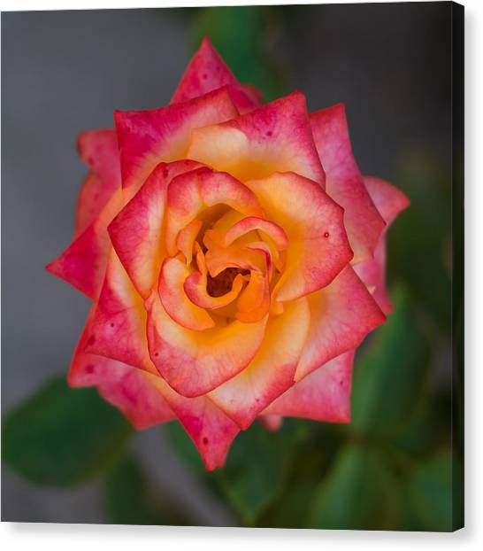 Roses From My Garden Canvas Print