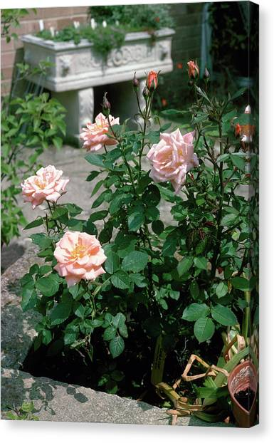 Cider Canvas Print - Roses (rosa 'cider Cup') by J.b. Rapkins/science Photo Library