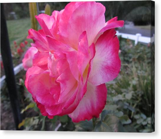 Rosey Rose Canvas Print