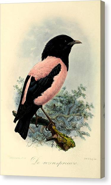 Starlings Canvas Print - Rosy Starling by Dreyer Wildlife Print Collections