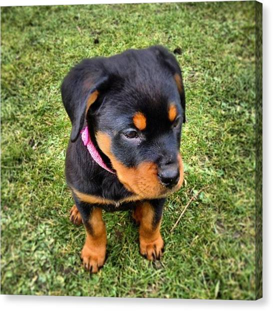 Rottweilers Canvas Print - #rottie #rottweiler #rottiepup #rox by Charlotte Turville
