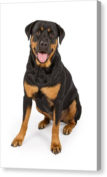 Rottweilers Canvas Print - Rottweiler Dog Isolated On White by Susan Schmitz