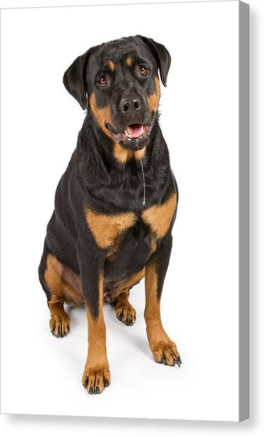 Rottweilers Canvas Print - Rottweiler Dog With Drool by Susan Schmitz