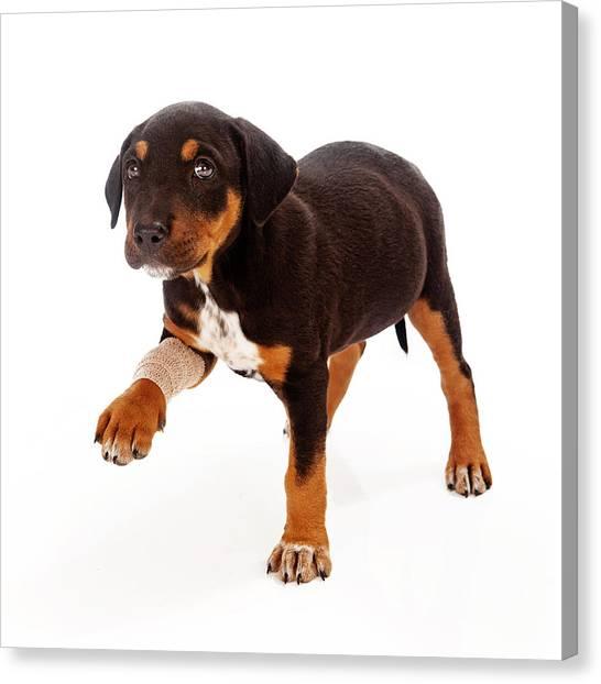 Rottweilers Canvas Print - Rottweiler Puppy Injured Paw by Susan Schmitz