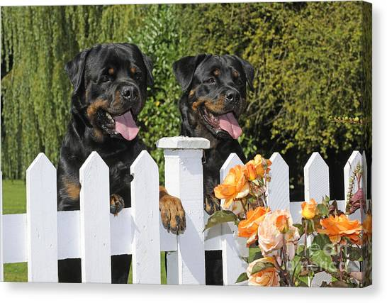 Rottweilers Canvas Print - Rottweilers Looking Over Fence by John Daniels