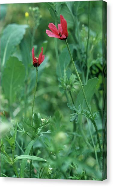 Rough Poppies (papaver Hybridum) Canvas Print by Bob Gibbons/science Photo Library