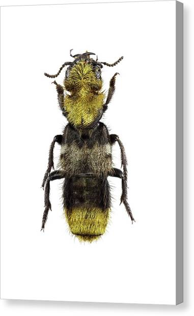 Emus Canvas Print - Rove Beetle by F. Martinez Clavel