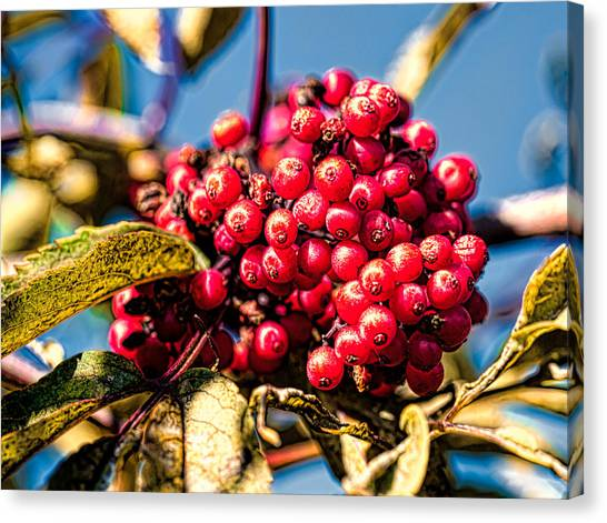 Rowan Berries Canvas Print