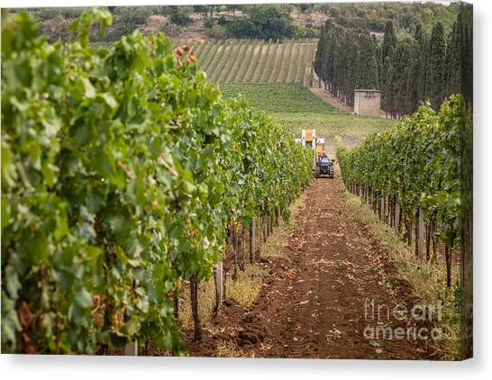 Rows On Vines With A Mechanical Harvester In The Distance Harves Canvas Print