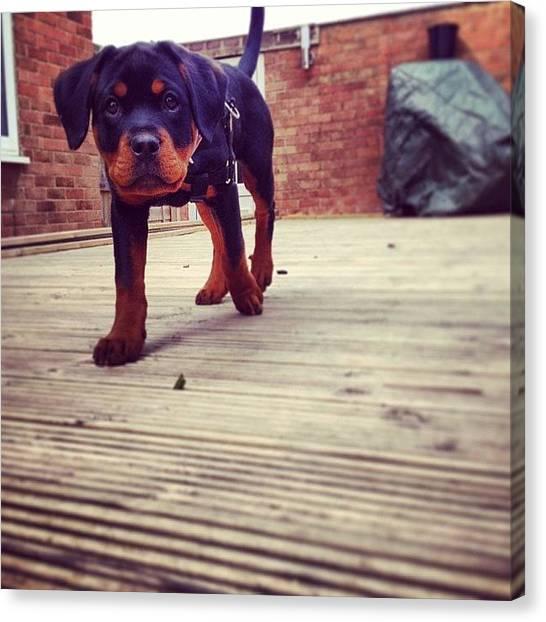 Rottweilers Canvas Print - #rox #roxy #cute #cutie #walkies by Charlotte Turville