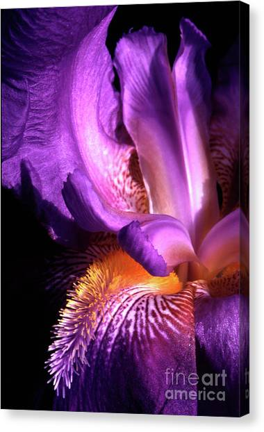 Royal Iris Canvas Print