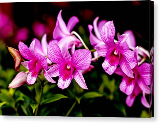 Royal Pink Orchid Canvas Print by Donald Chen