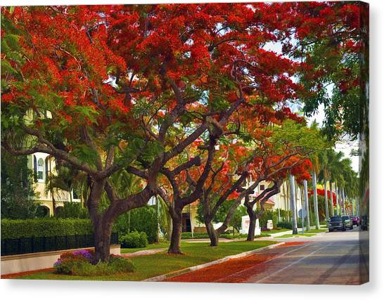 Royal Poinciana Trees Blooming In South Florida Canvas Print