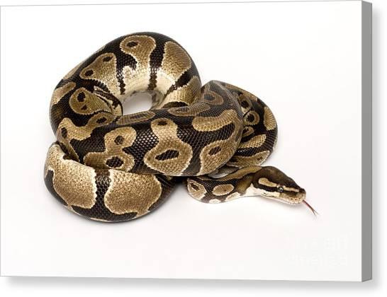 Ball Pythons Canvas Print - Royal Python by Mark Bowler