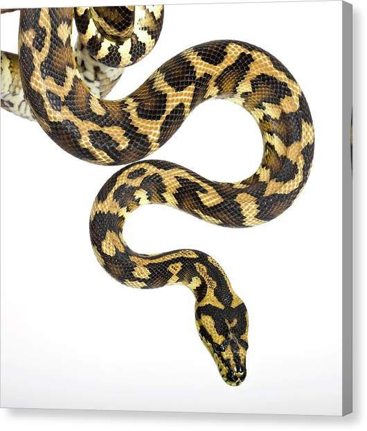 Pythons Canvas Print - Royal Python by Pascal Goetgheluck/science Photo Library